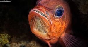 Nel Golfo di Napoli vive un pesce-balia, il Re di Triglie