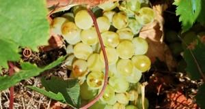 La vite d'uva Zibibbo diventa Patrimonio dell'Umanità Unesco