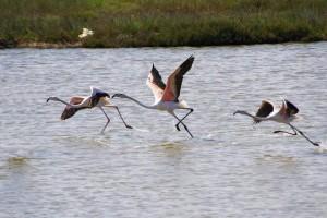 Fenicotteri nel Parco Salina Punta della Contessa - Ph. Facebook page del Parco
