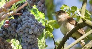 La poetica leggenda calabrese sulla nascita dell'uva