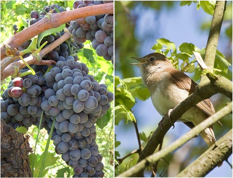 A sin. grappoli di uva calabrese Gaglioppo - Ph. Fabio Ingrosso | CCBY2.0. A destra, un usignolo - Ph. J. Dietrich | CCBY-SA3.0