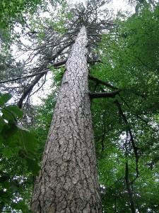 1. Esemplare di pino laricio nel bosco di Fallistro, Spezzano della Sila (Cs) - Ph. Luca Galli | CCBY2.0