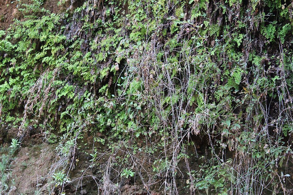 Colonia di capelvenere sotto la quale crescono diverse piantine di Pinguicula crystallina subsp. hirtiflora - Ph. © Domenico Saulle