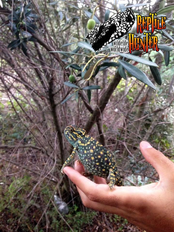 Uno degli esemplari di camaleonte mediterraneo ritrovati nel reggino - Ph. courtesy of Reptile Hunter