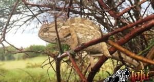 Camaleonti mediterranei in Calabria: un gruppo di studenti li ha scovati in un uliveto del reggino