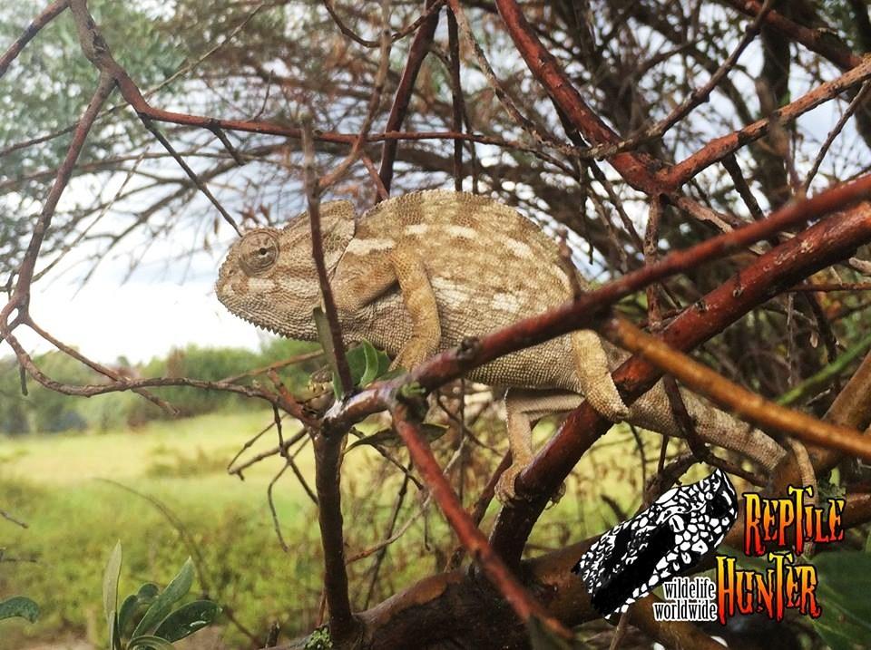 Calabria - Esemplare di Camaleonte mediterraneo (Chamaleo chamaleon) fotografato in un uliveto del Reggino - Ph. Reptile Hunter