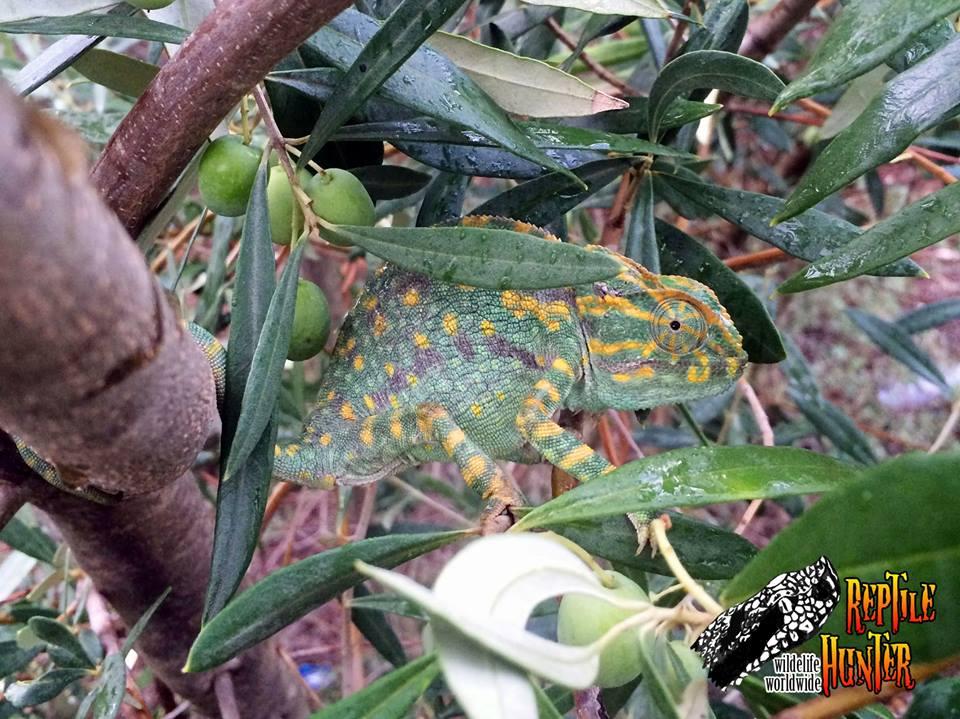 Esemplare di femmina gravida di camaleonte mediterraneo - Ph. courtesy of Reptile Hunter