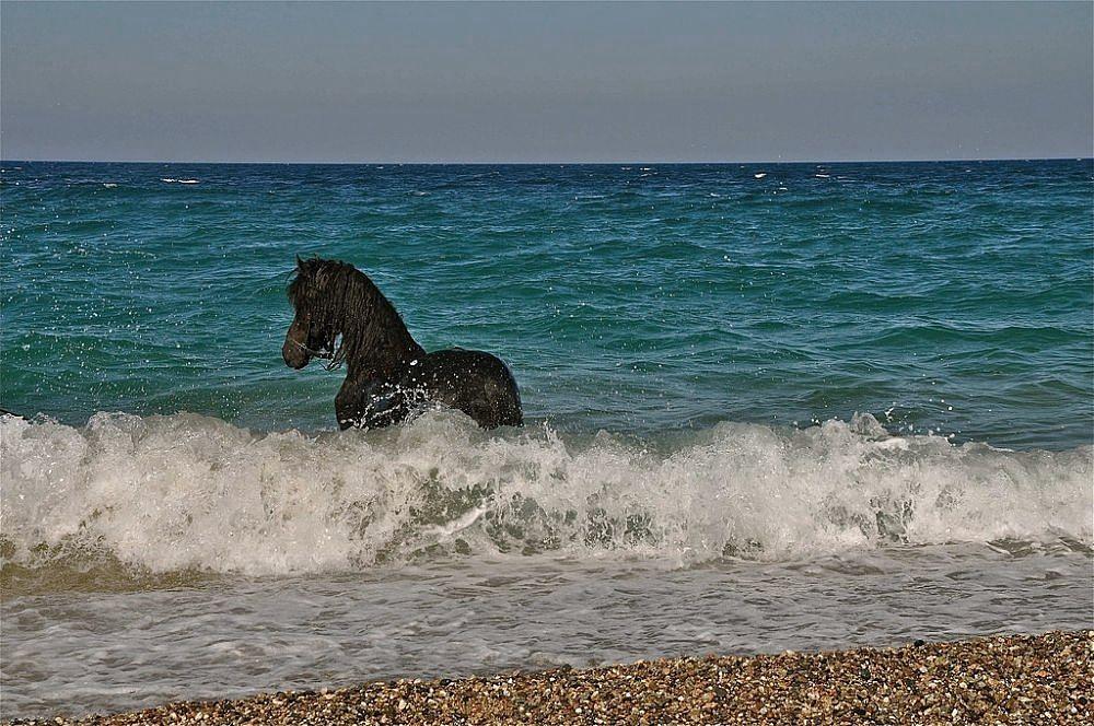 Stallone nero sulle rive del Mar Jonio, Schiavonea (Cs) - Ph. © Stefano Contin