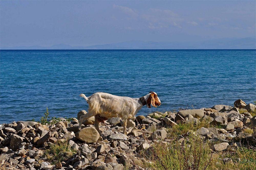 Capretta errante sulla riva del Mar Jonio - Ph. © Stefano Contin