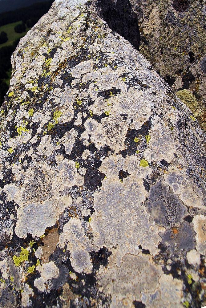 Lichene su roccia della specie Rhizocarpon geographicum – Ph. © Domenico Puntillo