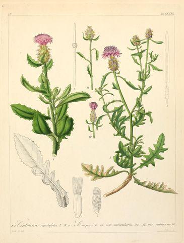 Centaurea seridis subsp. sonchifolia in un antico atlante botanico - Image source   Public domain