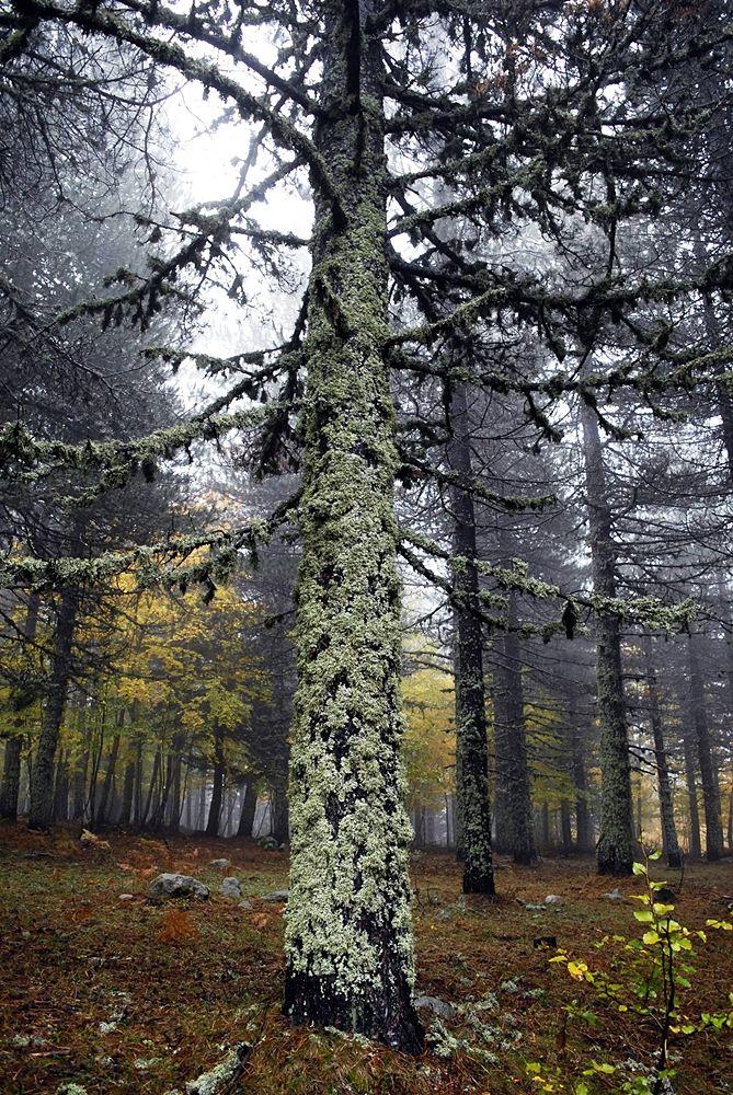 Calabria - Licheni ricoprono il fusto di un pino laricio (Pinus nigra laricio) in Sila - Ph. © Domenico Puntillo