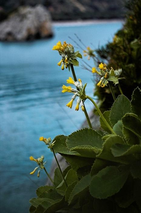 Primula Palinuri, raro endemismo del Parco - Ph. Francesco Marmo | CCBY-SA3.0
