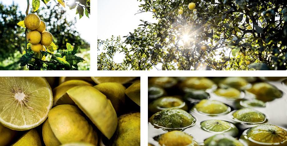 Coltivazione e lavorazione del bergamotto a San Carlo a Reggio Calabria - Ph. DiorTV