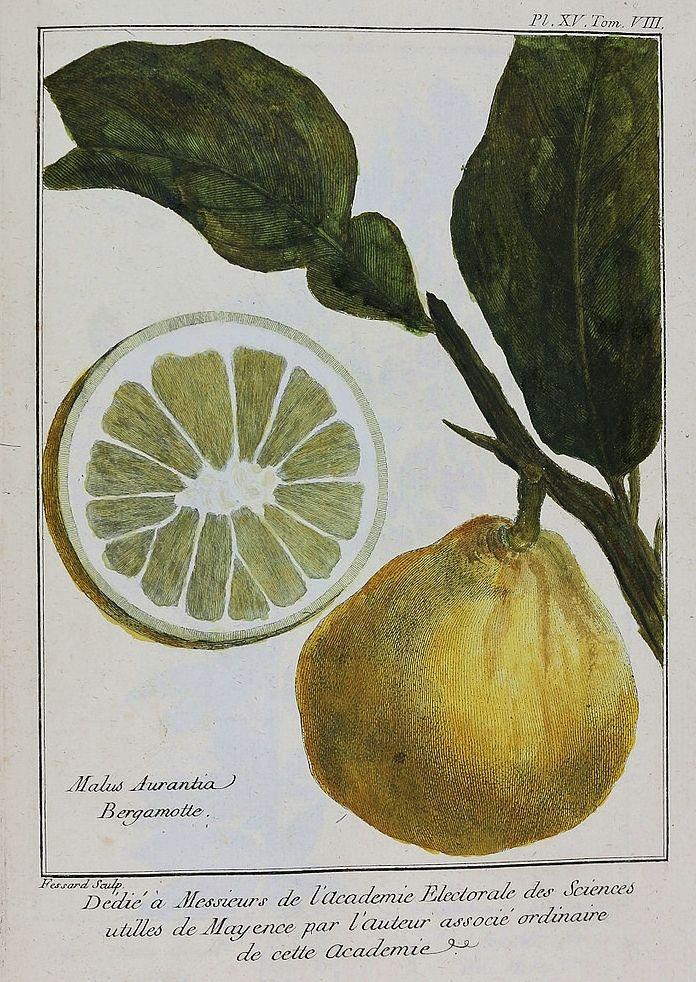Tavola botanica dedicata al bergamotto, da Atlas du Traité historique des plantes qui croissent dans la Lorraine & les trois Evêchés. Par P. J. Buc'hoz (1762-1770)