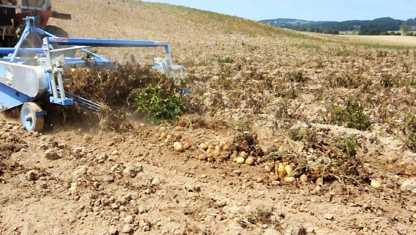 Fase di raccolta meccanizzata delle patate silane – Ph. © Anna Laura Mattesini