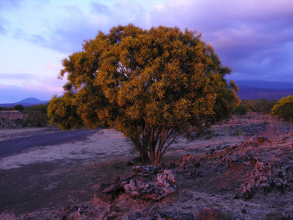 Sicilia - Ginestre sull'Etna al tramonto - Ph. Luca Galli | CCBY2.0