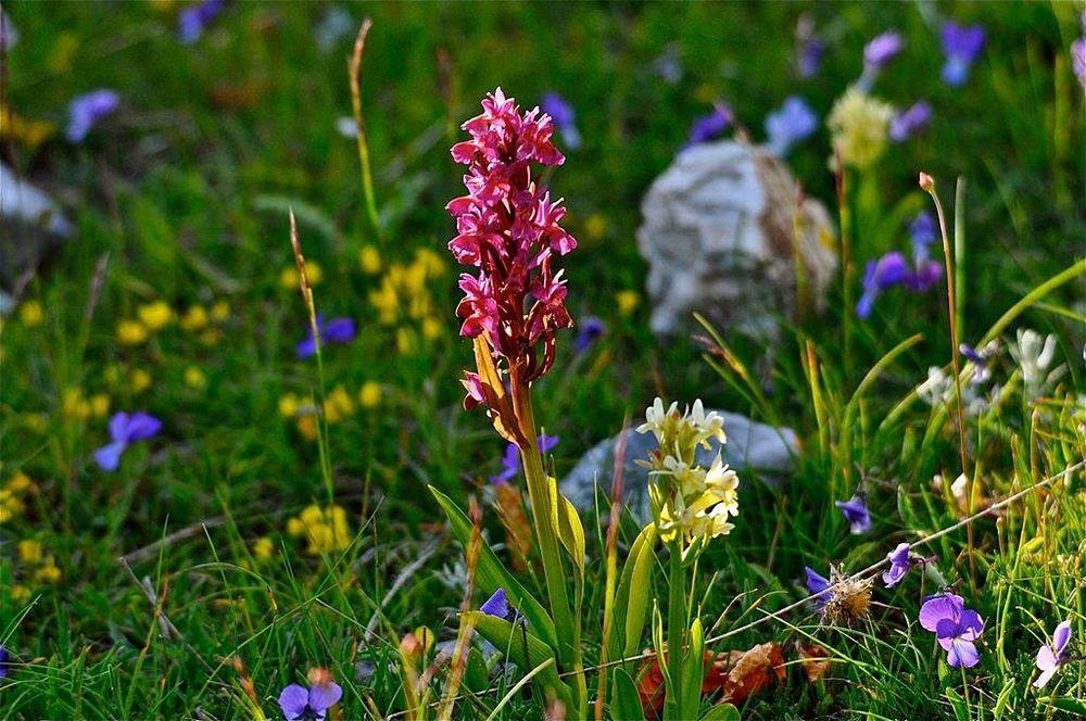 Calabria - Varietà botaniche primaverili nel Parco Nazionale del Pollino - Ph. © Stefano Contin