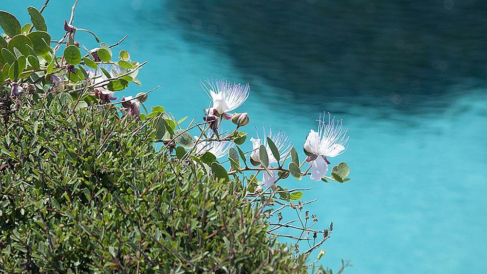 Capperi in fiore sullo sfondo del Mediterraneo - Ph. Roberto Boboviel | CCBY2.0