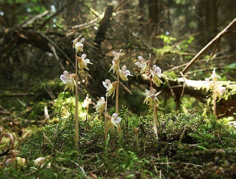 Gruppo di Orchidee fantasma (Epipogium aphyllum Swartz) - Ph. BerndH