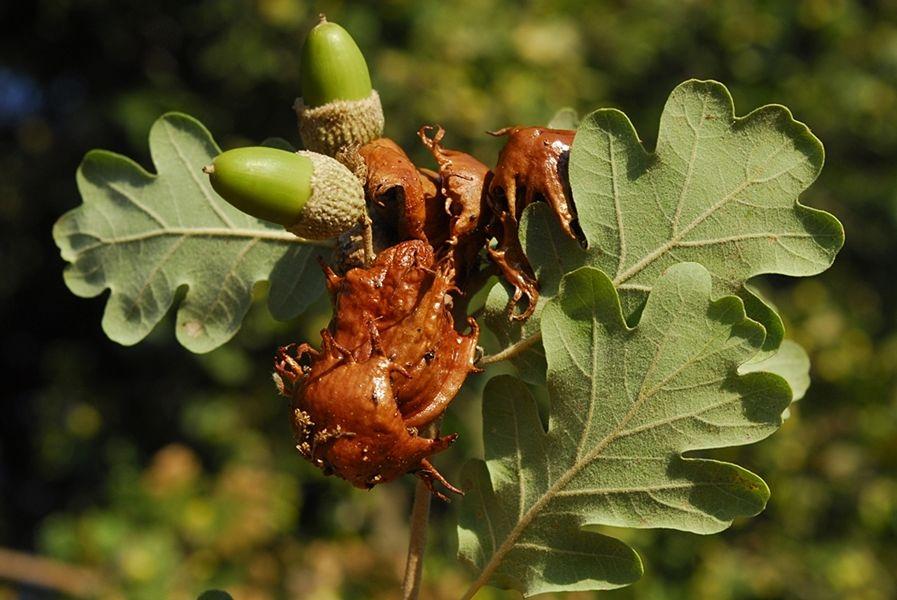 Andricus dentimtratus su Quercia (Quercus pubescens) - Ph. © Domenico Puntillo