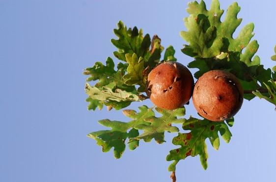 Andricus quercustozae su Quercus pubescens - Ph. © Domenico Puntillo
