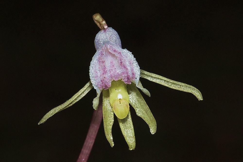 Esemplare di Orchidea fantasma (Epipogium aphillum Swartz) - Ph. Hans Stieglitz