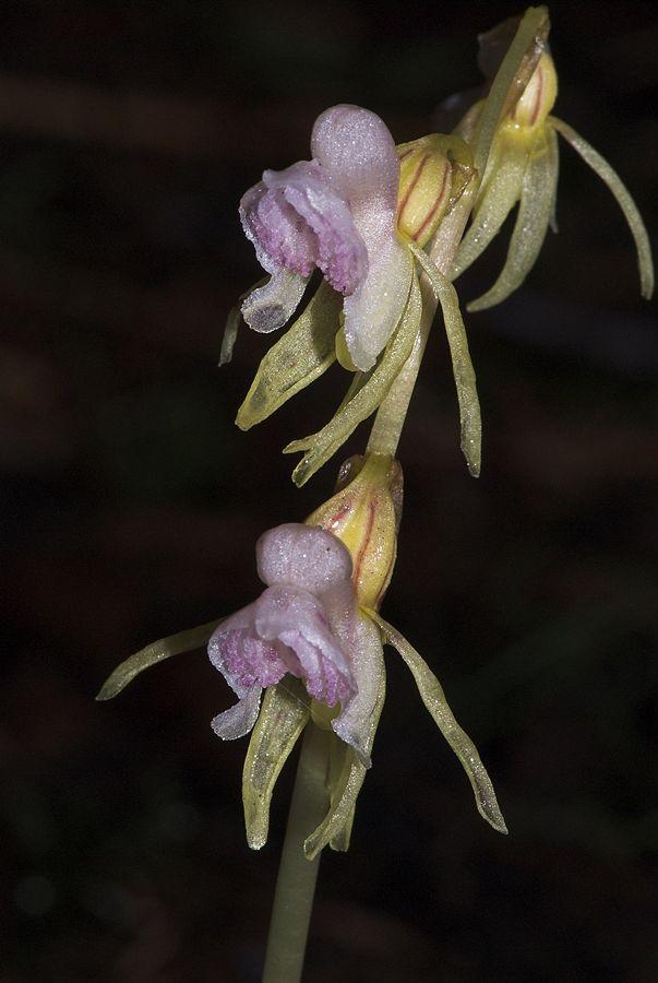 Orchidea fantasma (Epipogium aphyllum) - Ph. Hans Stieglitz