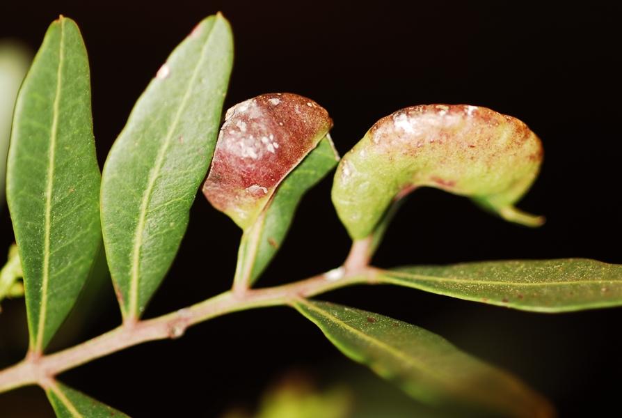 Galla del lentisco (Pistacia lentiscus L.) - Ph. © Domenico Puntillo