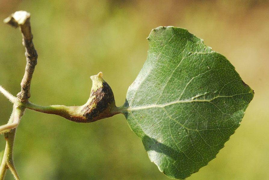 Galla del pioppo (Populus nigra L.) - Ph. © Domenico Puntillo