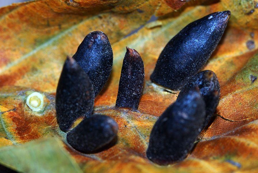Galle delle foglie del faggio (Fagus sylvatica) - Ph. © Domenico Puntillo