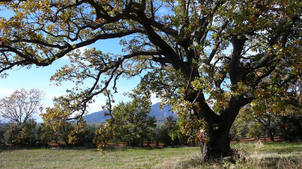 Esemplare secolare di roverella (Quercus pubescens) - Ph. © Andrea Martini di Cigala