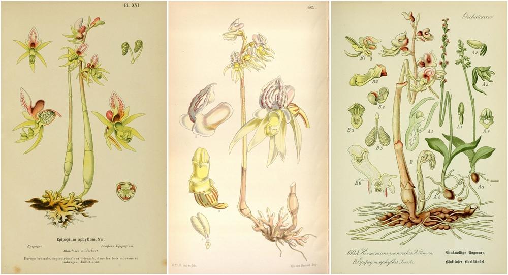 Orchidea fantasma (Epipogium aphyllon Sw.) in tre tavole botaniche di fine '800 - Ph. Biodiversity Heritage Library | CCBY2.0