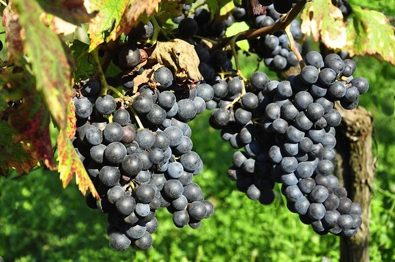 Grappoli di uva pallagrello nero