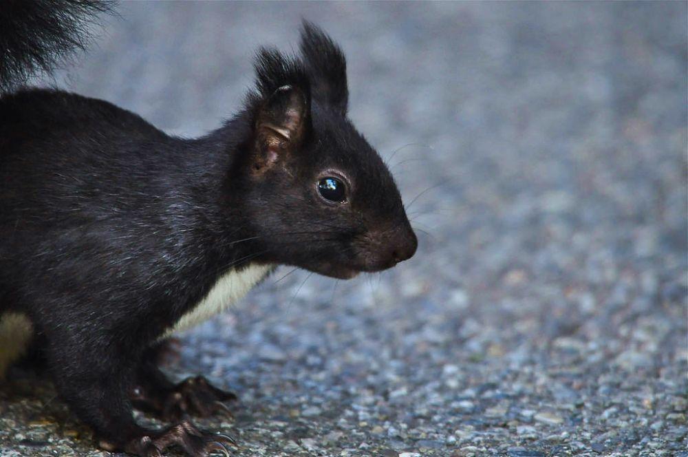 Esemplare di scoiattolo meridionale, Parco Nazionale del Pollino - Ph. © Stefano Contin