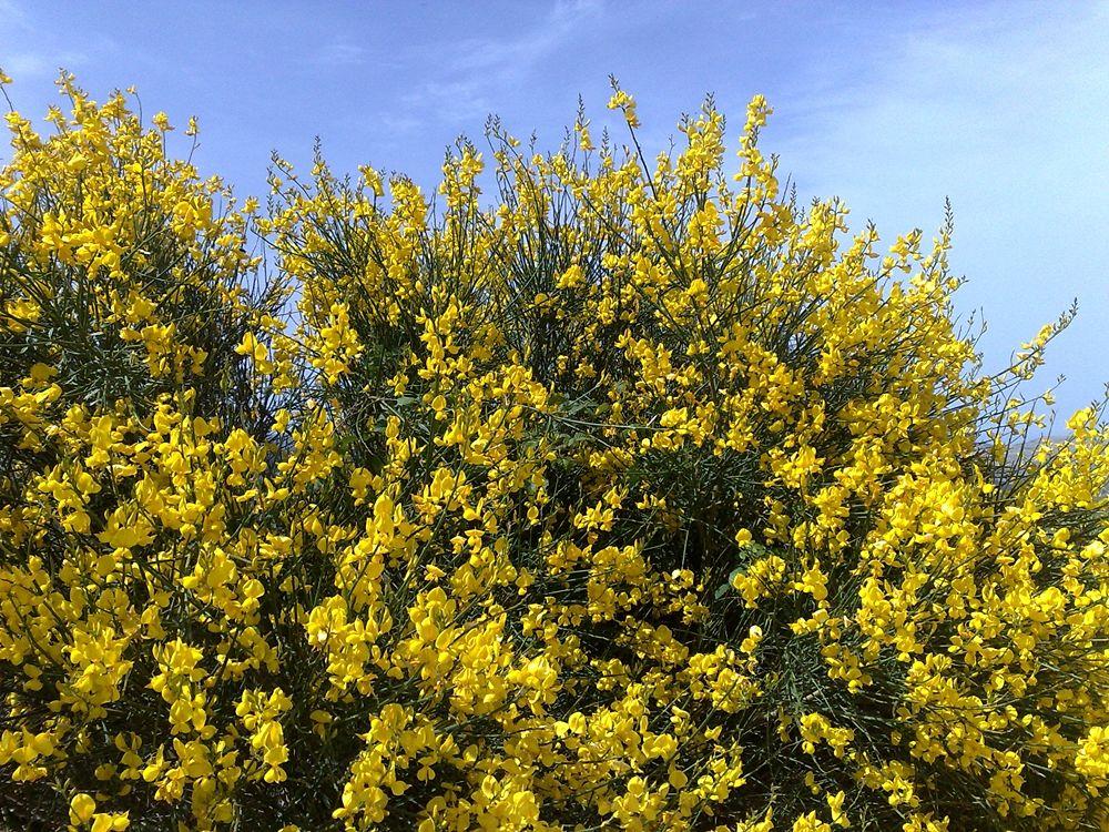Cespugli di ginestra (Spartium junceum) - Image source