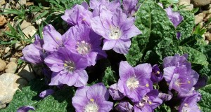 Splendori floreali d'autunno: note di flora calabrese serotina
