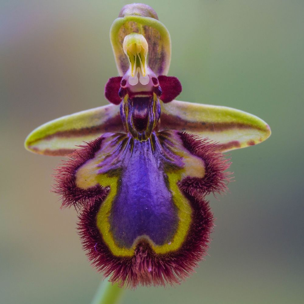 Esemplare di orchiedea Ophrys speculum - Ph. Mark Freeth