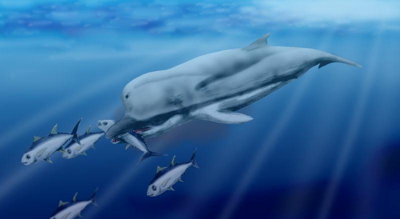 Ricostruzione di un esemplare di  zigofisetere (Zygophyseter varolai), cetaceo vissuto nel Miocene superiore (Tortoniano) i cui resti sono stati ritrovati in Italia meridionale