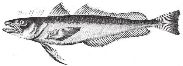 Esemplare di baccalà (Gadus macrocephalus) in una incisione d'epoca