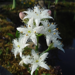 Menyanthes trifoliata - Ph. G. hagedorn |ccby-sa3.0
