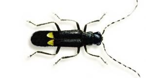 Scoperta in Aspromonte una nuova specie di coleottero: il Malthodes rheginus Liberti
