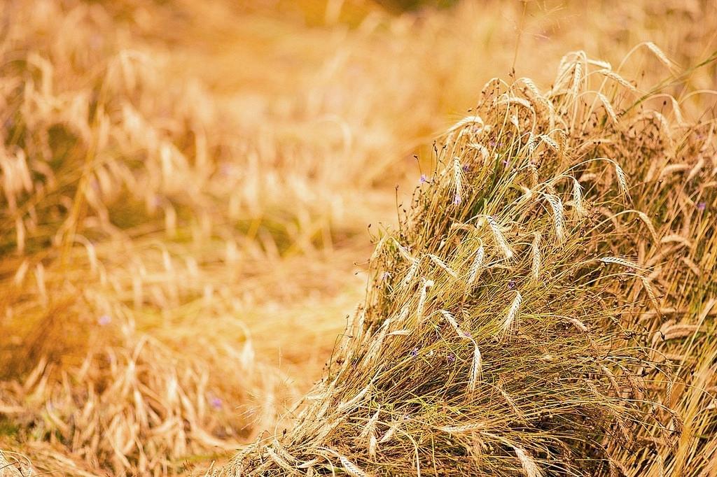 Mietitura del grano - Ph. Lurens | ccby-sa2.0