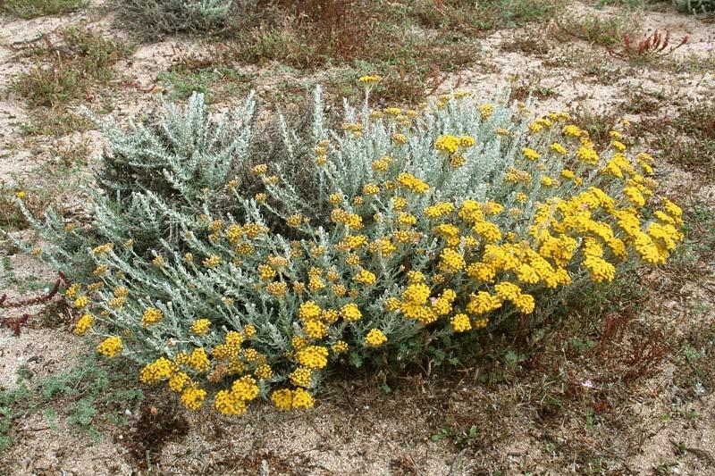 Cespuglio di Helichrysum microphyllum subsp. tyrrhenicum Bacch. Brullo & Giusso