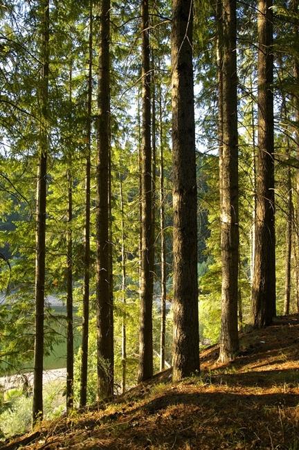 Foresta di pini larici, Sila Grande - Ph. © Ferruccio Cornicello
