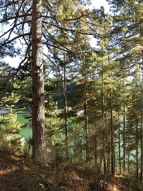 Bosco di pino laricio sulle sponde del lago Cecita, Sila Grande