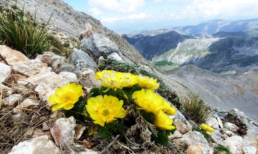 Adonis curvata (Adonis distorta Ten.), pianta-simbolo dell'Abruzzo - Image by Actaplantarum
