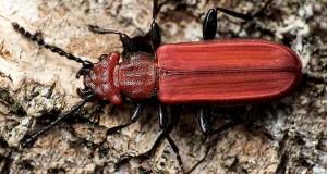 Cucujus cinnaberinus: vive in Sila il rarissimo coleottero del legno