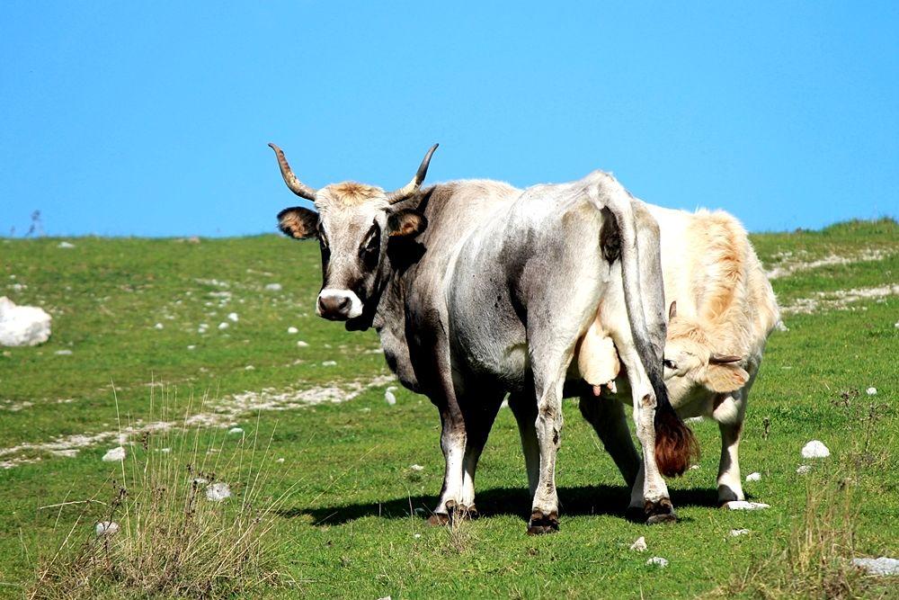 Mucca e vitello a Masistro, Parco Nazionale del Pollino - Ph. © Gianni Termine