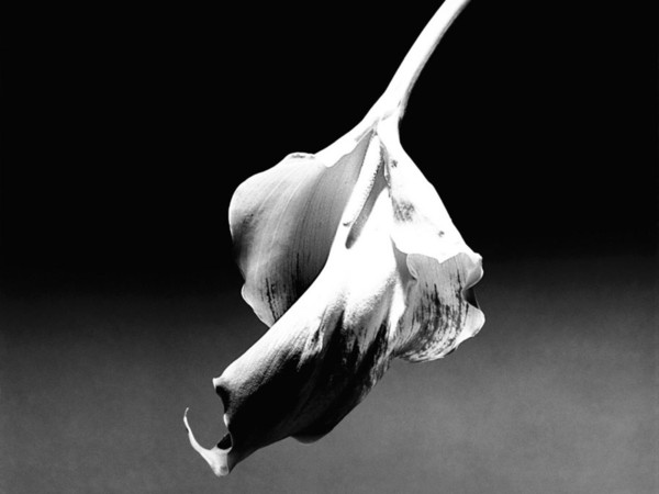 Robert Mapplethorpe,  Calla Lily, 1986 | © Robert Mapplethorpe Foundation. Used by permission